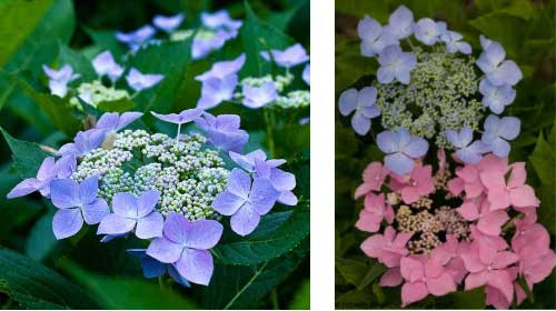 Examples of bigleaf hydrangea blooms in blue and pink.