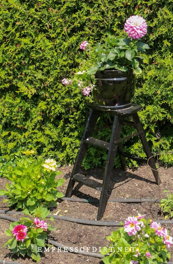 Black step ladder with dahlia in flower pot.