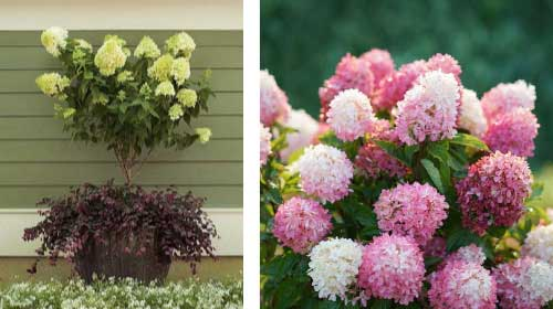 Panicle or peegee hydrangeas in white and pink.
