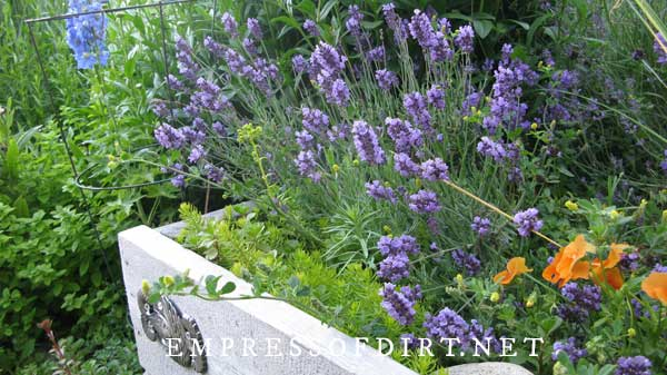 Purple lavender growing in a raised garden bed.