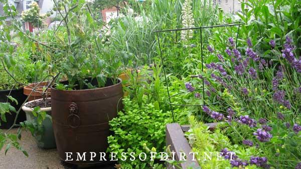 Garden containers with potato and tomato plants plus purple lavender.