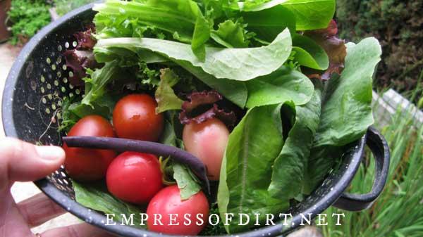 Fresh picked vegetables from garden.