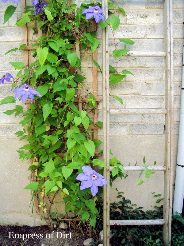 Wood garden ladder with clematis flowers.