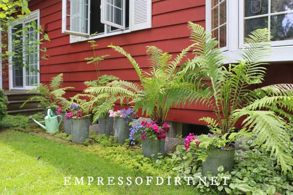 Ferns in Metal Buckets