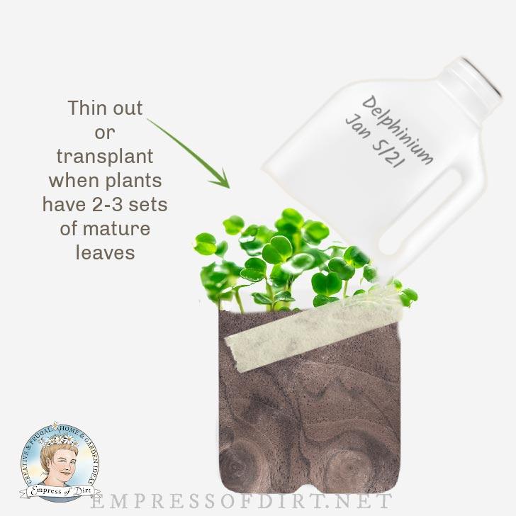 Seedlings growing in milk jug for winter sowing.