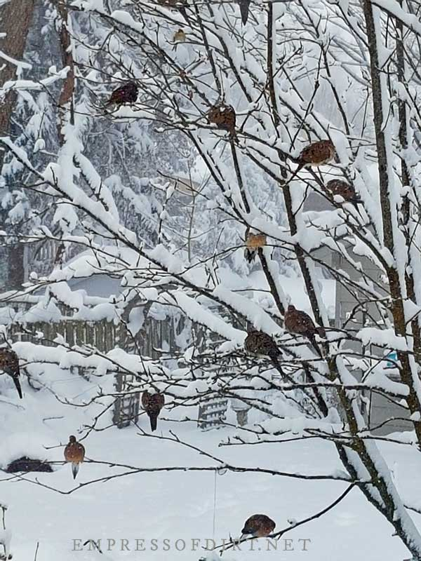 Doves huddled on tree branches in snow storm.
