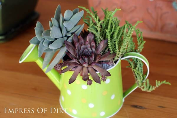 Bright green watering can with succulent plants.