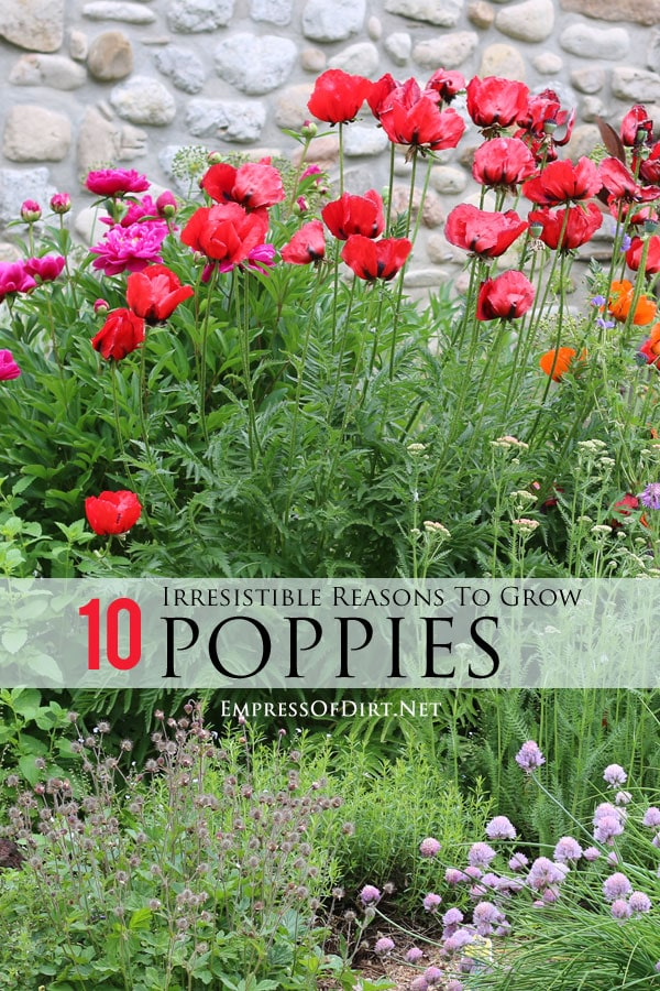 Irresistable Reasons to Grow Poppies