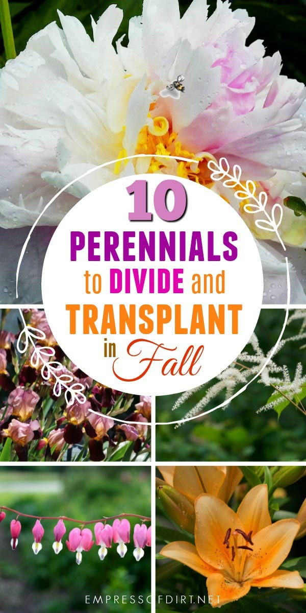 Fall is the time to divide and transplant these popular flowering perennials.