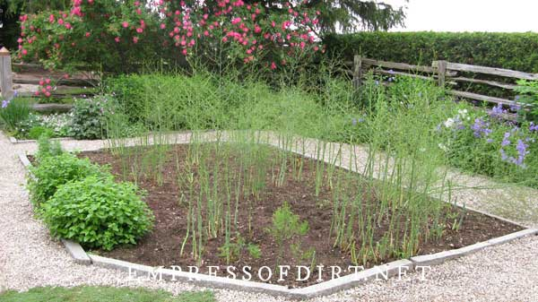 Asparagus bed in country garden.