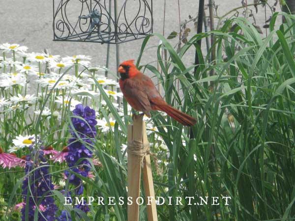 Male cardinal bird on post in flower garden.