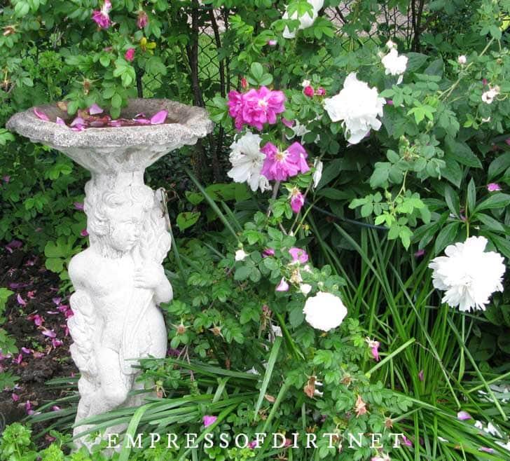 Angel birdbath with rose petals in the bowl.