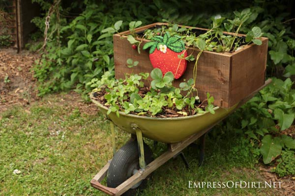 Strawberries in Old Garden Wheelbarrow