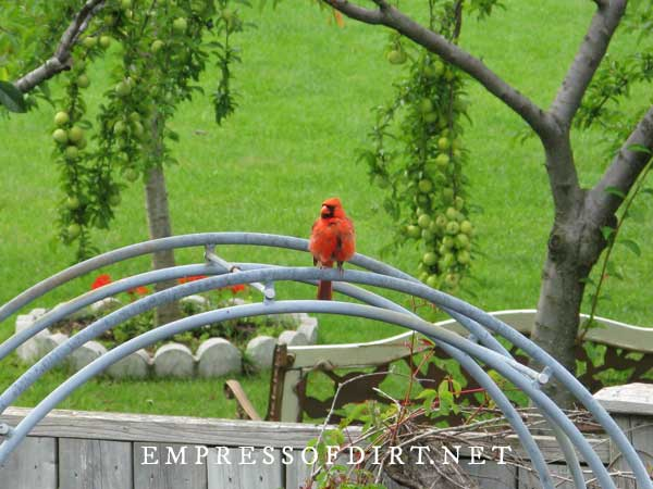 Red male cardinal standing on top of garden arbor.