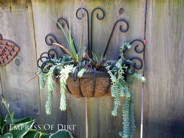 Donkey tail (Euphorbia) plants hanging from metal wall planter.