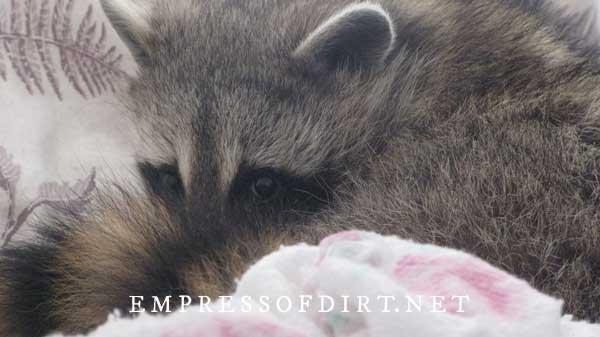 Raccoon sleeping on blanket.