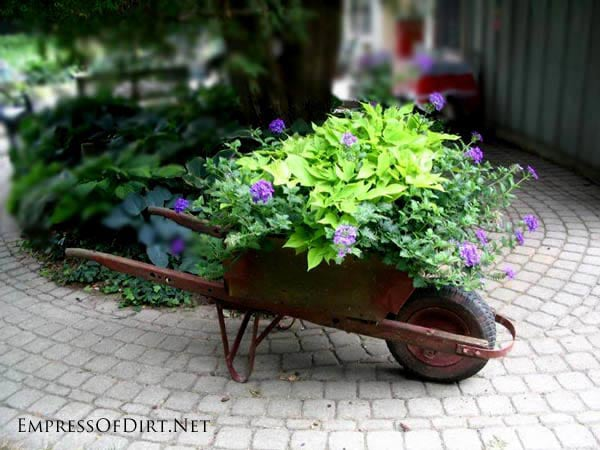 Old Red Wheelbarrow with Sweet Potato Vine