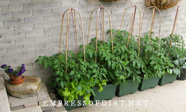 Tomatoes and herbs growing in green containers.