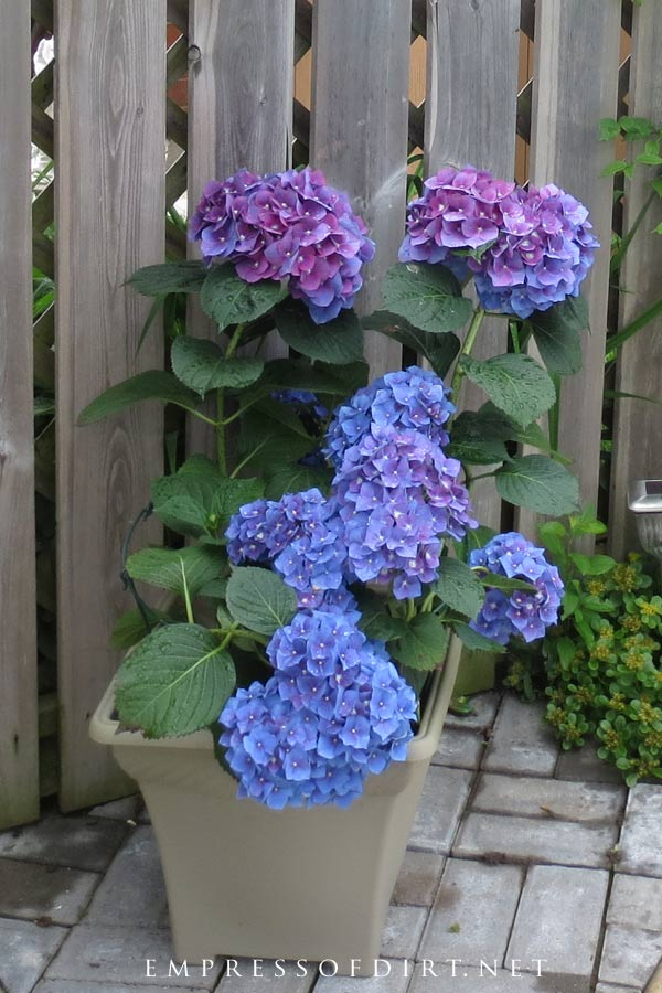 Blue flowering hydrangea in container on patio.