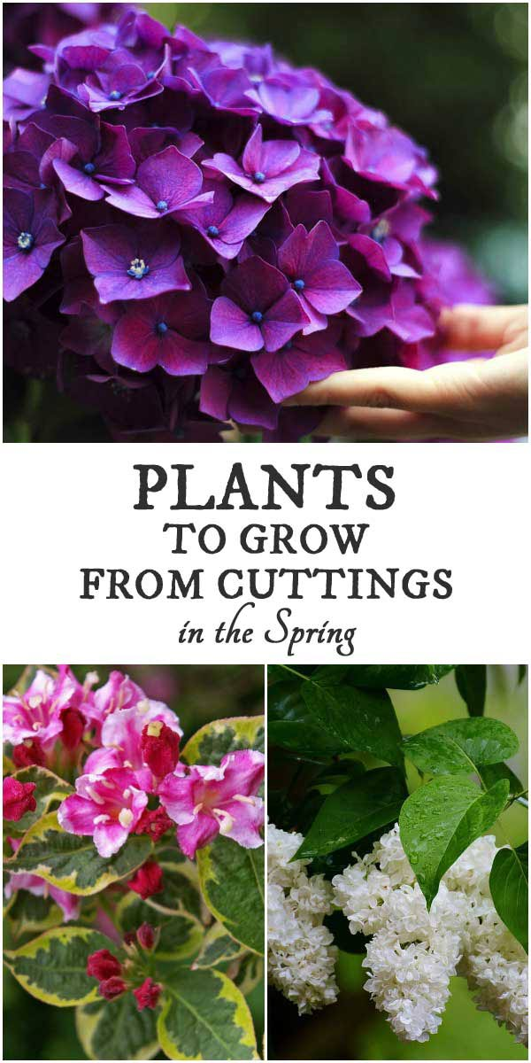 Plants to grow from cuttings in spring for new plants.