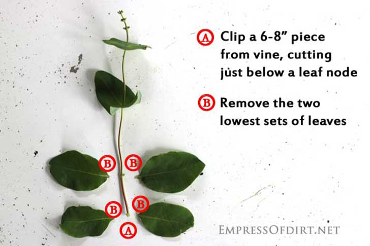 Diagram of cuts needed to propagate honeysuckle stem.