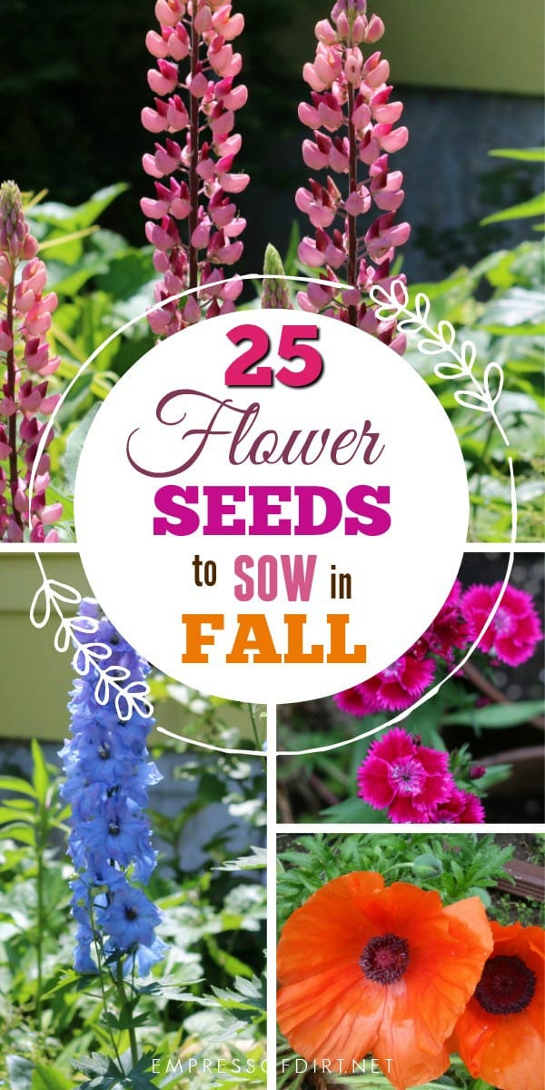 If you live in a cold climate, there are plenty of annual and perennial flower seeds you can sow in the fall garden for flowers in the new year.