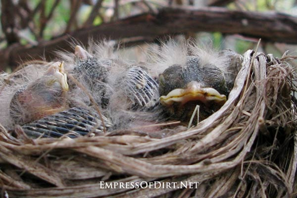 Four baby robins snuggled in their nest, waiting for worms