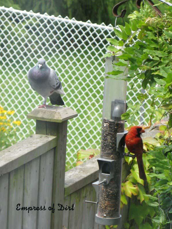 Peebee sleeps while the cardinal feeds