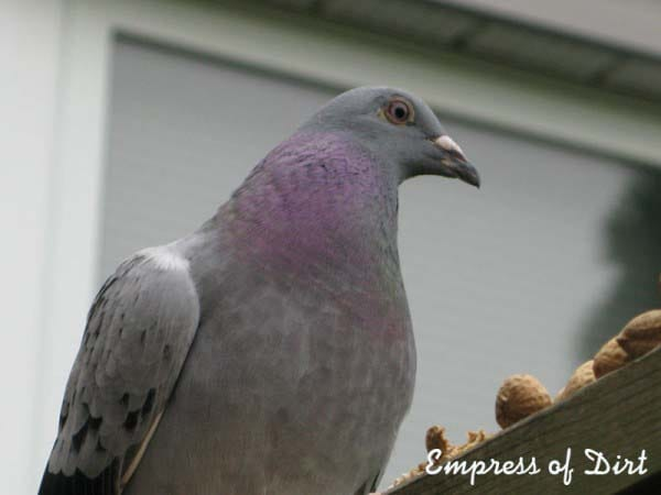 PeeBee the racing pigeon who stole our hearts
