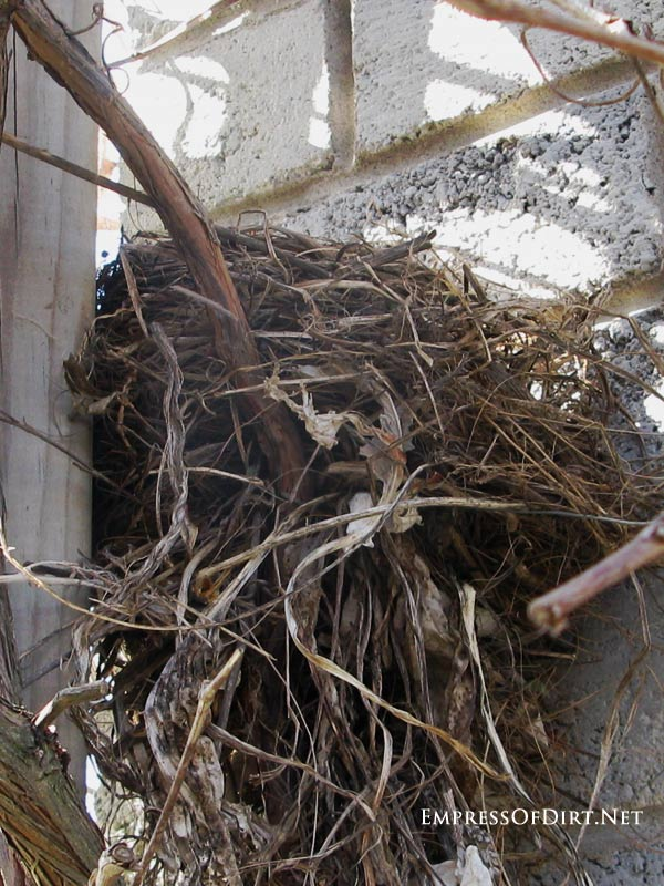 Large robins nest against garden garden: there's 4 babies in there