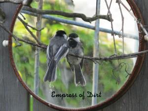 Chickadee In Mirror