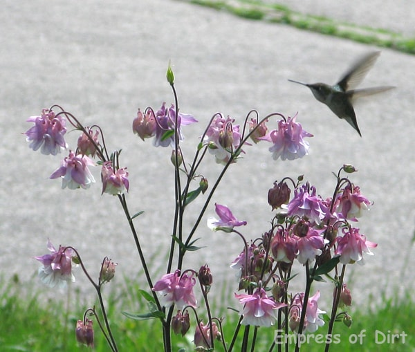 Hummingbird At Flowers