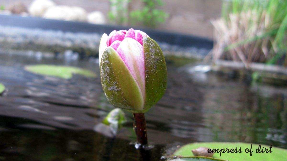 Pink Water Lily Starting To Bloom