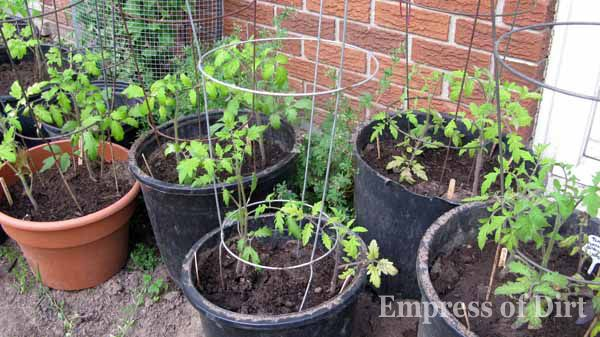 Young tomato plants in containers