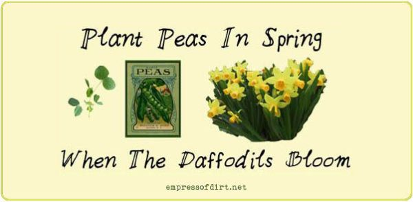 Sign saying plant pea in spring when daffodils bloom.