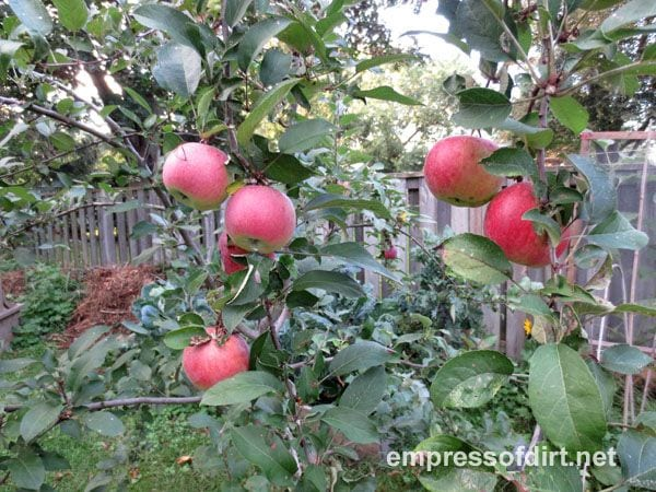 Apples growing on a dwarf apple tree.