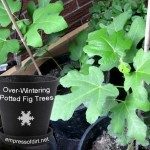 What is 'overwintering' and how do I do it?