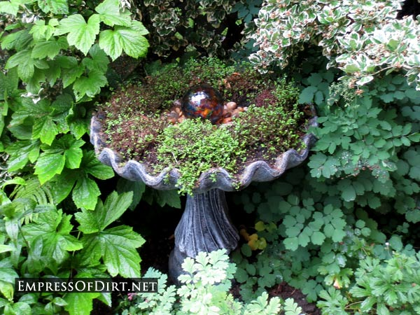 Birdbath planter with creeping thyme and gazing ball.
