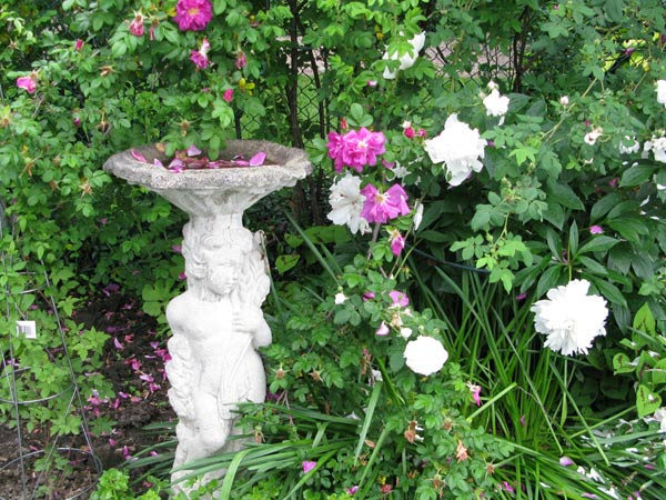 White cherub birdbath in rose garden.