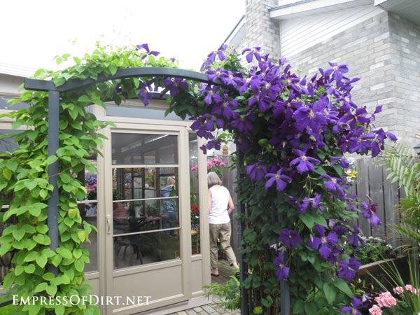 Purple clematis vine growing on black metal garden arch.