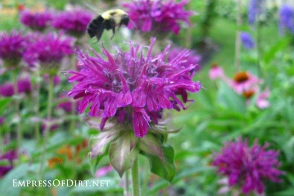 Bee at allium flowers.