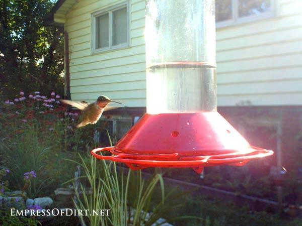 Hummingbird hovering need sugar feeder.