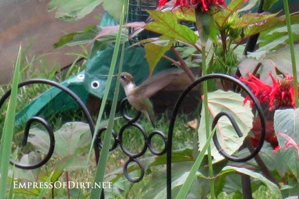 Hummingbird hovering in garden.
