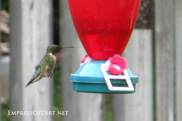 Hummingbird approaching feeder.