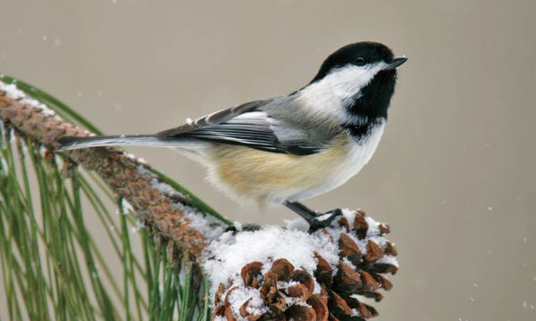 Make a Chickadee nesting box - free instructions