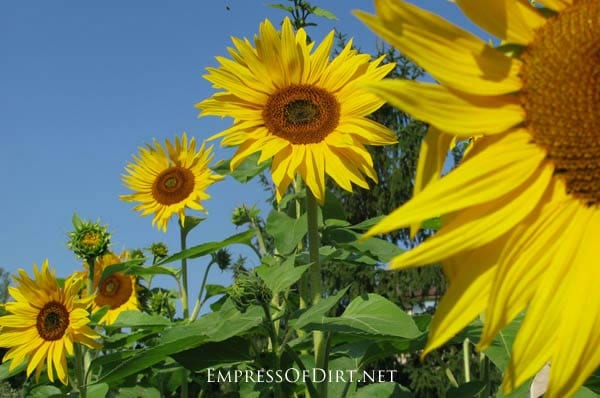 How To Grow Sunflowers And What Not Do