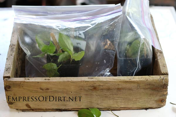 Clematis cuttings rooting in greenhouse bag. If you have a clematis vine you love (or a friend does), this tip shows you how to take cuttings to create more vines—that's what propagation is. It's a great way to get free plants without much effort. I'll walk you through the steps so you can propagate your vines this spring.