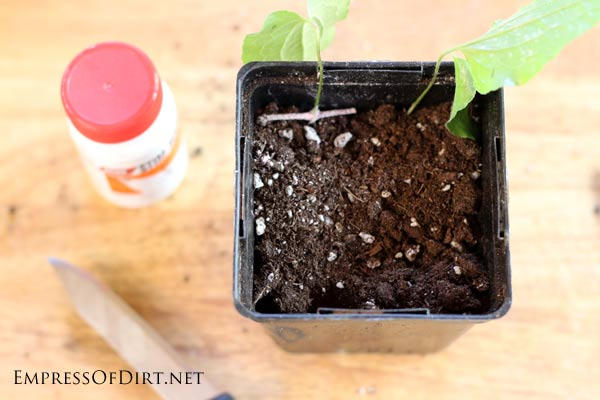 How to grow clematis cuttings. If you have a clematis vine you love (or a friend does), this tip shows you how to take cuttings to create more vines—that's what propagation is. It's a great way to get free plants without much effort. I'll walk you through the steps so you can propagate your vines this spring.