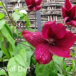 How to propagate clematis from cuttings