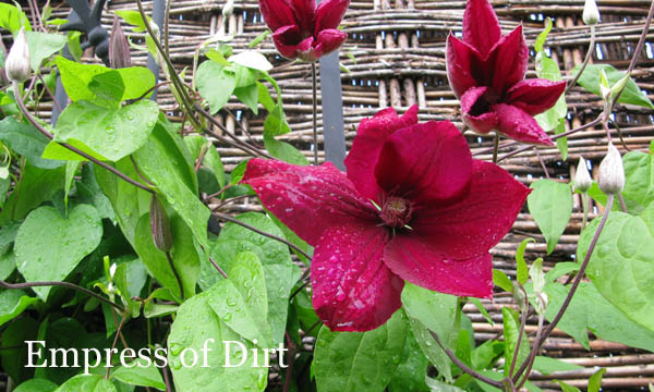 Learn how to take cuttings from your favourite clematis vines to get more free plants for your garden.